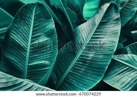 tropical leaf texture, large palm foliage nature green background #670074229