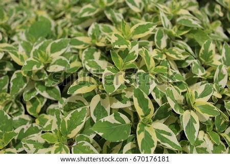Two-color leaf shrubs #670176181
