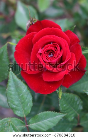 Red rose. Single beautiful rose. Love #670884310