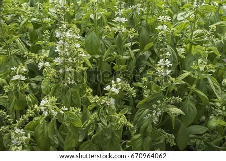 Lush Basil herb #670964062