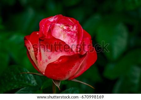 Beautiful rose blooms after rainfall, in Washington Park International Rose Test Garden, Portland, Oregon. #670998169