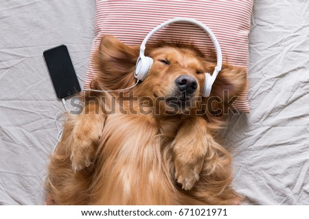 The Golden Retriever wearing headphones listening to music Royalty-Free Stock Photo #671021971
