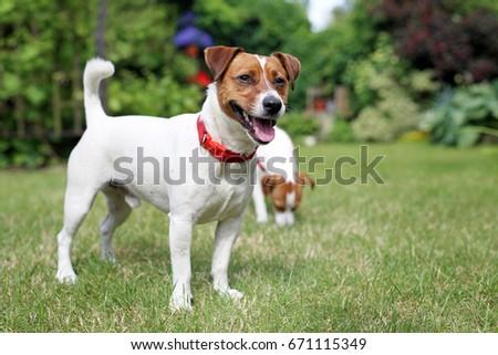 Adult terrier dog #671115349