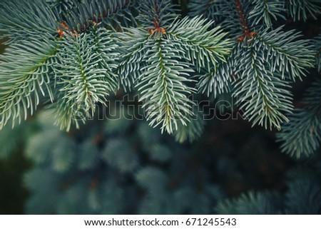 Fir tree brunch close up. Shallow focus. Fluffy fir tree brunch close up. Christmas wallpaper concept. Copy space. #671245543