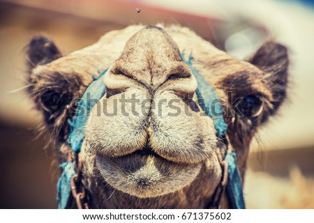 """""""Camel's Muzzle"""" Just a camel looking straight into my camera.  Royalty-Free Stock Photo #671375602"""