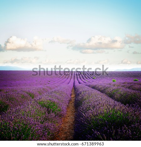 Lavender flowers field rows with summer pale blue sky, Provence, France, retro toned #671389963
