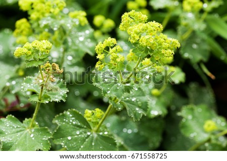 Closeup of Mantle flowers (Alchemilla mollis) in water drops after rain. Lady's-mantle - perennial garden ornamental plant. Selective focus. #671558725