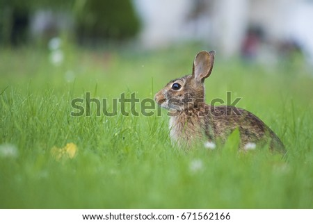 Eastern cottontail rabbit #671562166