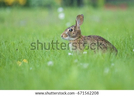 Eastern cottontail rabbit #671562208