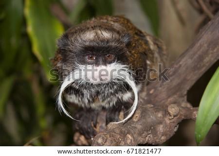 emperor tamarin, Saguinus imperator, sitting in tree looking around  #671821477