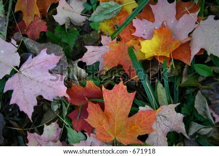 Fallen Leaves #671918