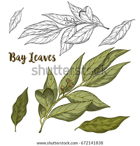 Full color realistic sketch illustration of bay leaves, vector illustration Royalty-Free Stock Photo #672141838