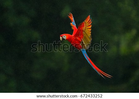 Red parrot in the rain. Macaw parrot flying in dark green vegetation. Scarlet Macaw, Ara macao, in tropical forest, Costa Rica, Wildlife scene from tropical nature. Red bird in the forest. #672433252