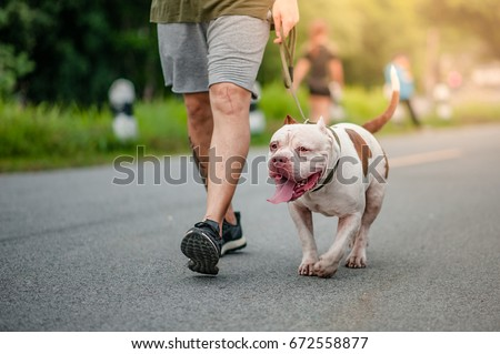 dog running exercise on the street park in the morning. running with pitbull.