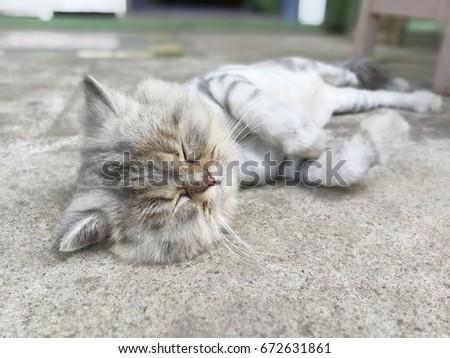Thai cat lying on the floor in Thailand #672631861