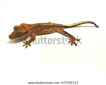 Crested Gecko / Correlophus Ciliatus On White Background #672709213