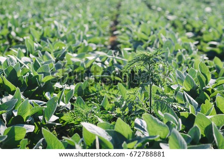 Ambrosia plant in the soyabean field. #672788881