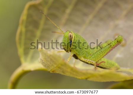 Locust green on the green leaf #673097677