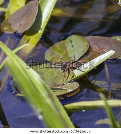 Great raft spider on a waterlily pad, hunting #673416637