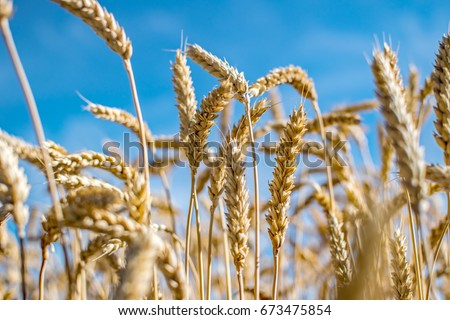 Rye field. Ripe grain spikelets. Cover crop and a forage crop. Blue sky background. Agricultural concept. Gramineae Royalty-Free Stock Photo #673475854