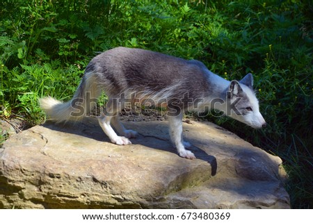 Arctic fox (Vulpes lagopus), also known as the white, polar or snow fox, is a small fox native to the Arctic regions of the Northern Hemisphere and common throughout the Arctic tundra biome #673480369