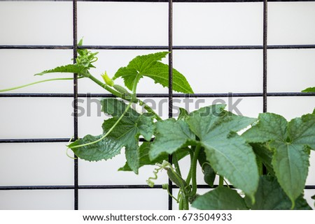 Cucumbers grow in the garden and greenhouses #673504933