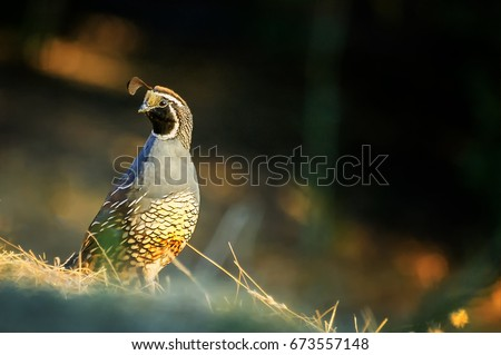 California quail in the wild; selective focus #673557148