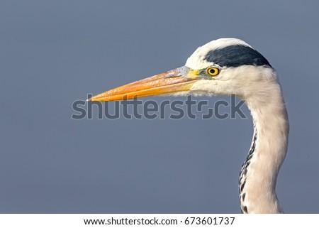 Grey Heron #673601737