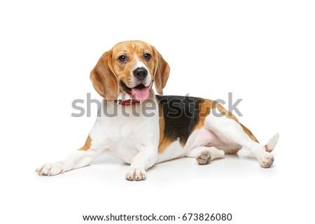 beautiful beagle dog isolated on white #673826080
