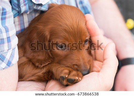One months old pure breed red irish setter puppy sitting in hands and hugging  #673866538