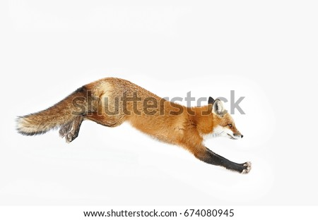 Red fox (Vulpes vulpes) with a bushy tail  isolated on white background running through the freshly fallen snow in winter in Algonquin Park, Canada