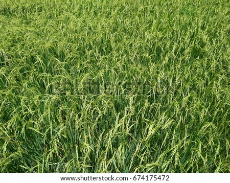 Paddy field on the outskirts of the town of Bangkok, Thailand. #674175472