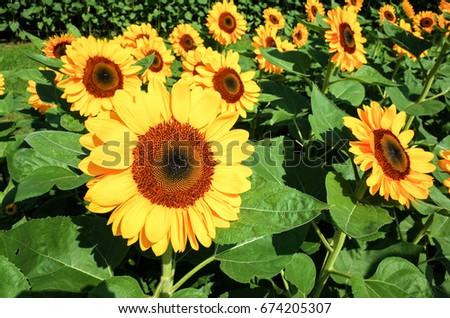 Sunflower field #674205307