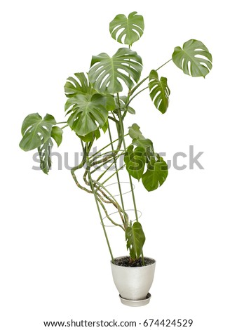 Large houseplant, tall tree in a pot isolated on white #674424529
