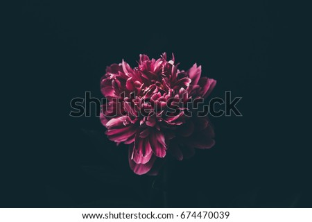 Purple peony on a black background #674470039