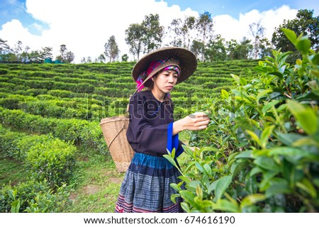 Asia women were picking tea leaves at a tea plantation,background nature. #674616190