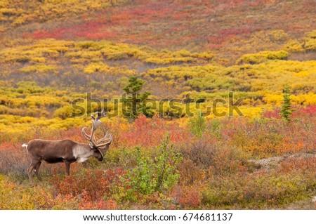 Caribou Bull in Fall Tundra