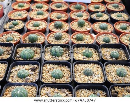 Mini cactus #674758747