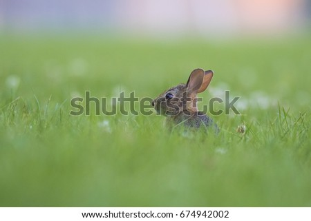Eastern cottontail rabbit #674942002