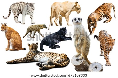 Set of wild mammals isolated over white background, mainly Felidae Royalty-Free Stock Photo #675109333