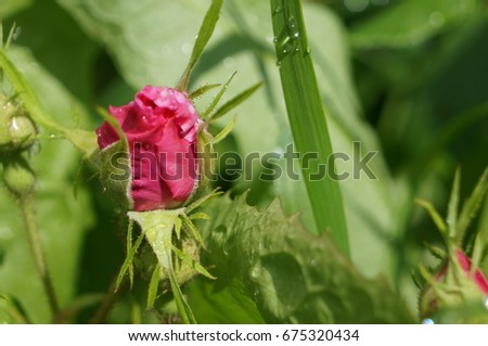 Pink delicate flowers with drops of dew on petals and young green fluffy buds of wild rose bush #675320434