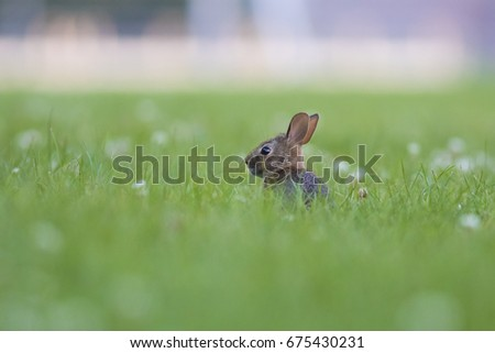 Eastern cottontail rabbit #675430231