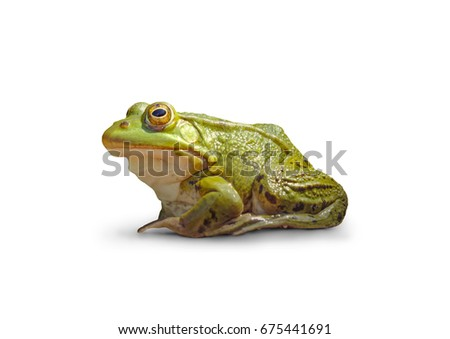 Frog on white isolated background. #675441691