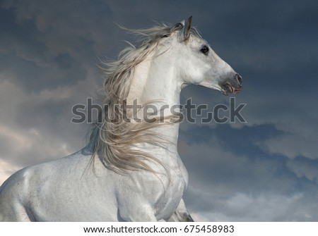 white andalusian horse with long main portrait in motion with dark skies behind #675458983