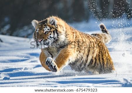 Siberian Tiger in the snow (Panthera tigris)  Royalty-Free Stock Photo #675479323