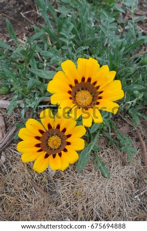 Natural daisy flower is blooming on stone ground #675694888