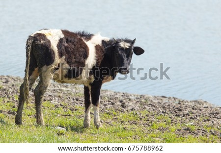 A portrait of a cow grazing on pasture #675788962