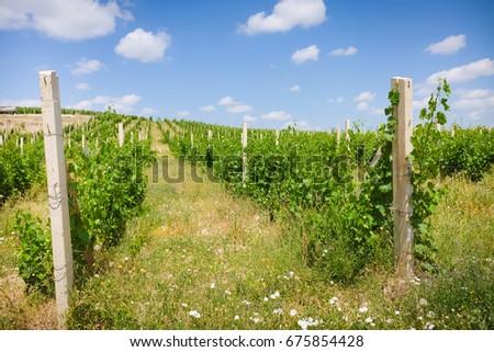vineyards #675854428