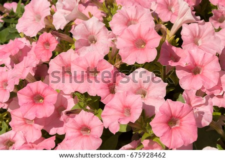 Bright pink petunia flowers. Background of petunia flowers. #675928462