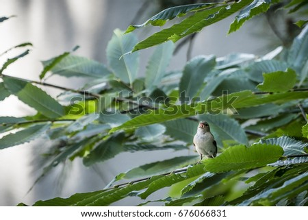 White crowned sparrow singing perched on tree #676066831